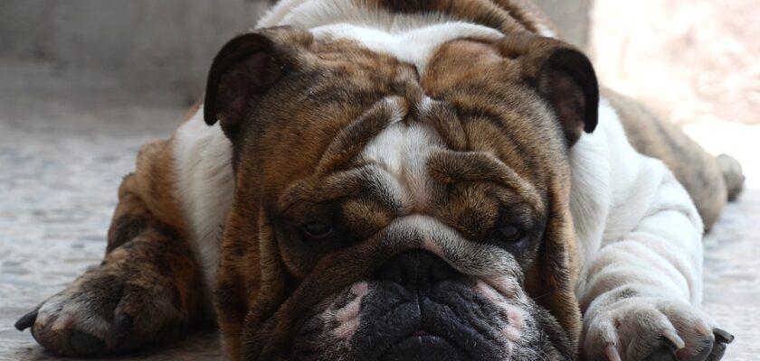 Razas de perro con tendencia a la obesidad